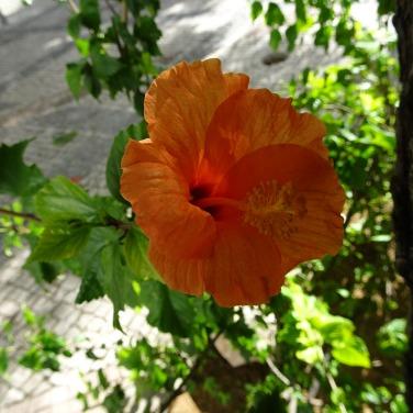 Pale orange hibiscus.