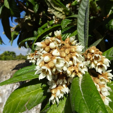 This is the Nêspereira (loquat tree) and the scent is unbelievable.