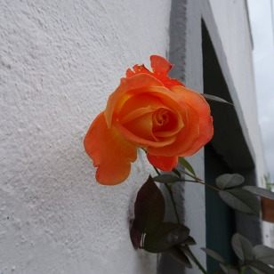 This rose opened this morning.....scentless but beautiful nonetheless.