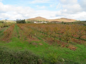 Another field of persimmons