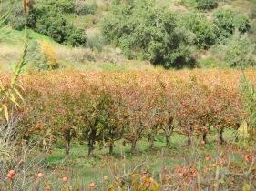 A massive persimmon orchard