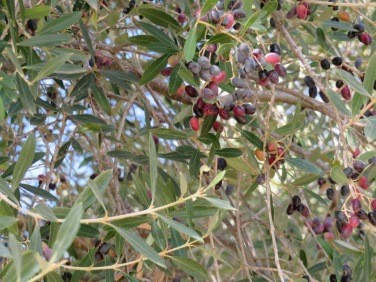 Although most olive trees have been harvested, you do find one from time to time that is still bearing fruit.