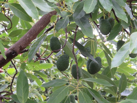 There must have been about 50 or more large avocado trees, all of them with fist sized fruit.