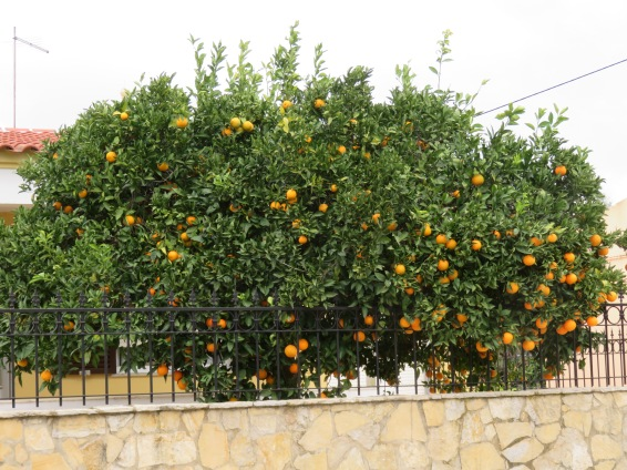 So many orchards and private gardens filled with fruit covered trees.
