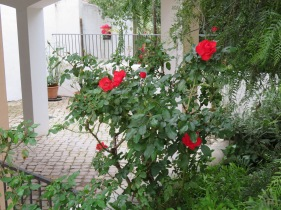 This rose bush is on the end of our downstairs patio and just burst open this morning.