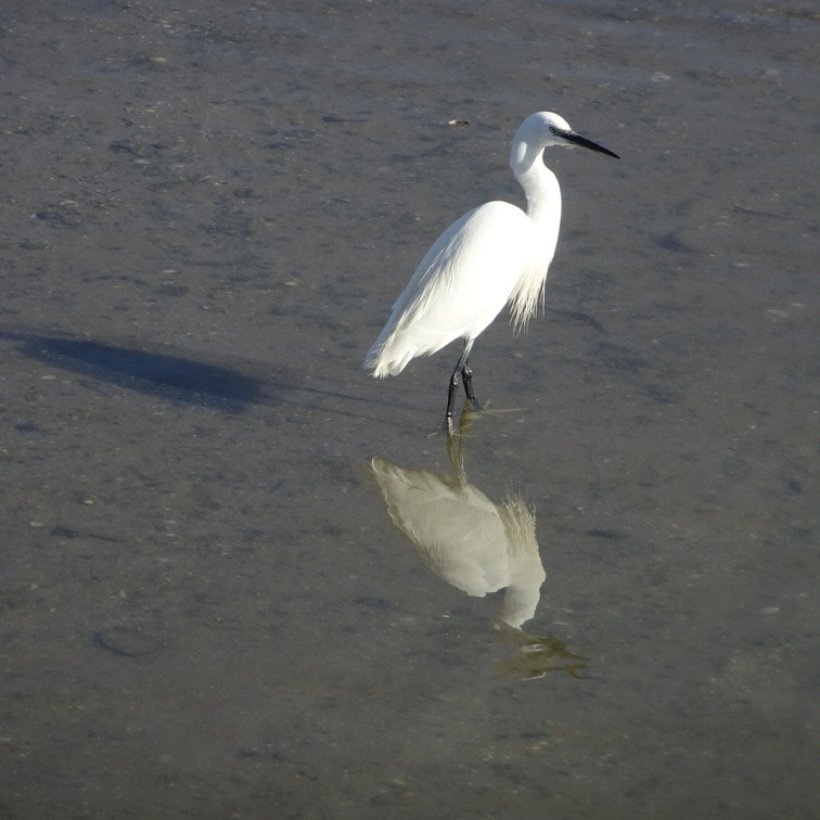 An egret calmly waiting for a school of fish to come closer.