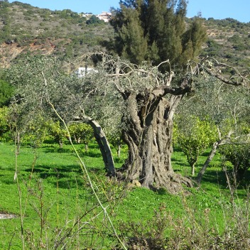 This old olive tree was a sculpture onto itself and the surrounding countryside a masterpiece.