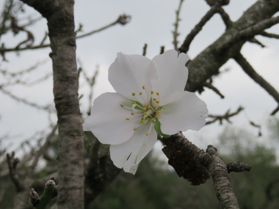 What a surprise to find an almond flower in bloom.....they don't usually show up till January. A good sign perhaps?