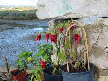 A vibrant pot of peppers decorating a patio near the sea.