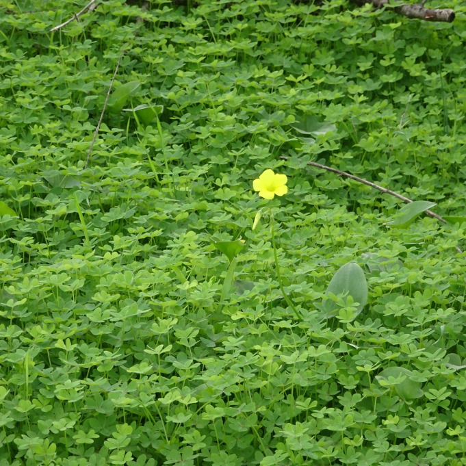 The carpet of green is absolutely everywhere in the fields and orchards. The yellow flowers, which are a sort of weed, are just starting to show up. In an few days it will as a sea of sunshine on the ground.