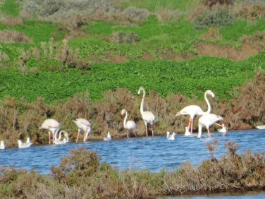Another good sign, the flamingos have returned early!!