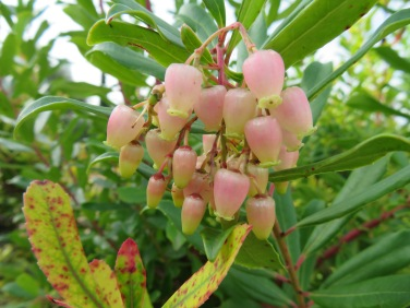 Berries about to burst on the Medronho tree