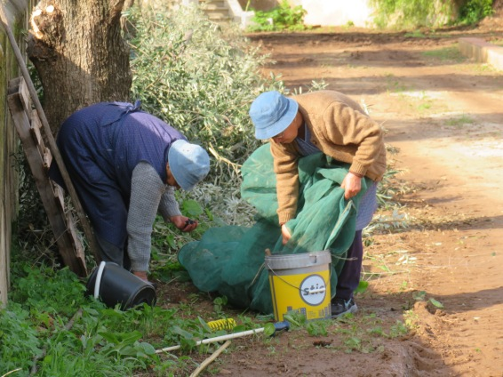 Yes, these two elderly women were harvesting all these olives.