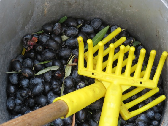 Olive rakes in the bucket with the fruit of the day.