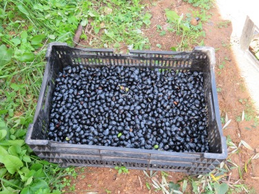 Olives that had just been harvested.