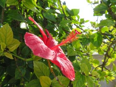 The glorious hibiscus.