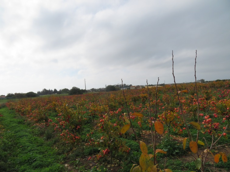 Persimmons as far as the eye can see.
