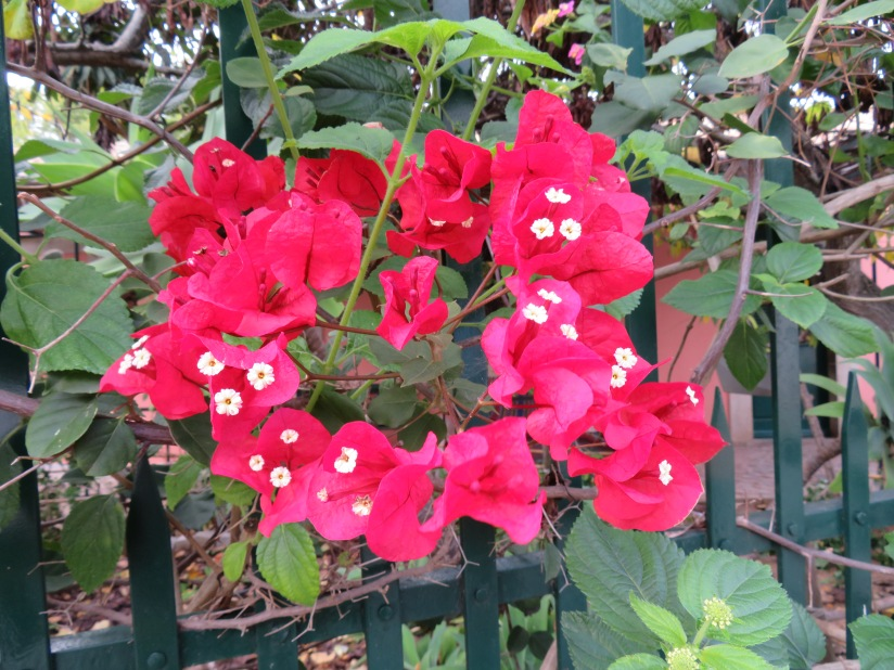 Ruby red bougainvillea.