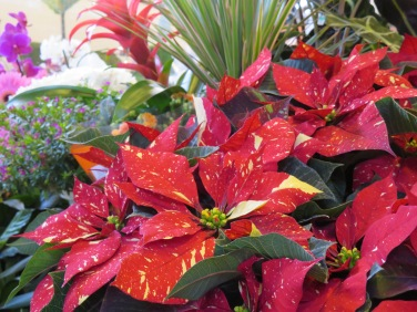Beautiful poinsettia.