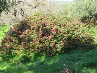 This bush of lantera was about 7 feet across and five feet high