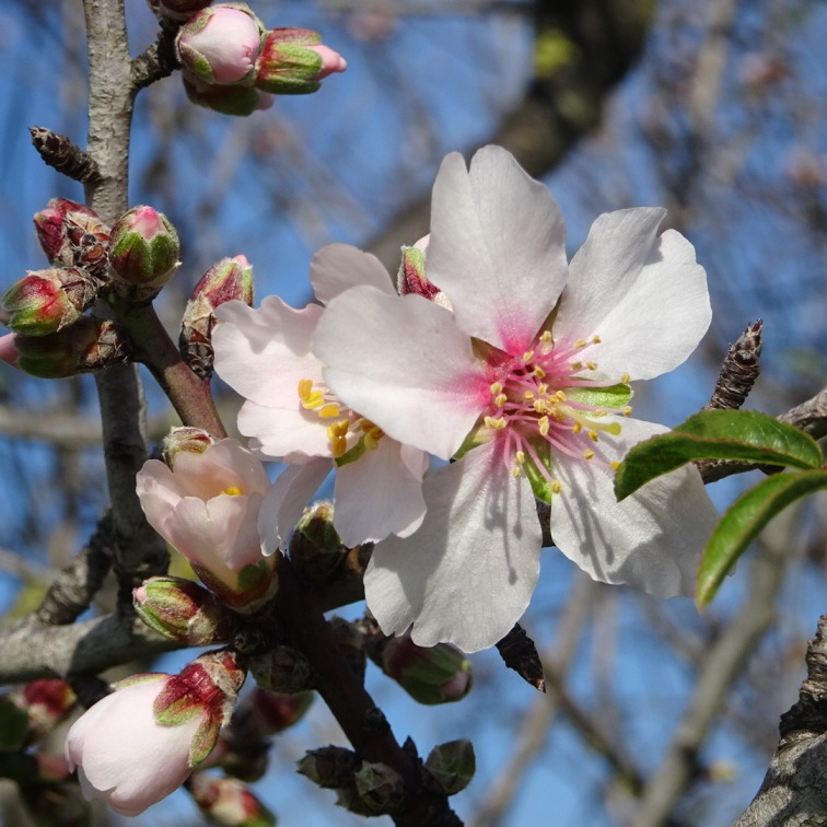 The almond trees are starting to burst...in another week or so you won't be able to see a branch from the proliferation of flowers