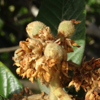 The nespera is just starting to form on the trees.