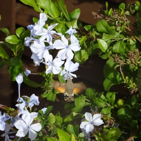 This is a moth, similar in size and behavior to a a humming bird