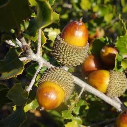 More acorns