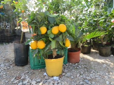 This tiny pot of lemons was amazing. It was no more than a foot high, covered in fruit and flowers. I so wanted to purchase it!