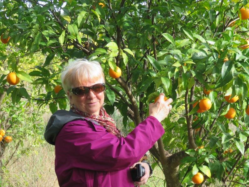 Picking,or should I say stealing oranges?