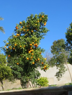 This slender orange tree, about five feet tall, was bending with fruit.
