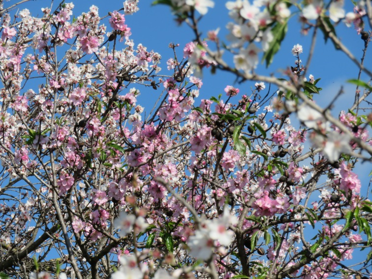 Almond flowers are simply unavoidable right now.........gorgeous and abundant.