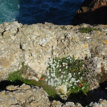 Tucked away between the rocks, protected from the cold Atlantic winds, the flowers thrive