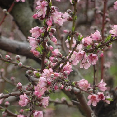 A close up of the plum flower