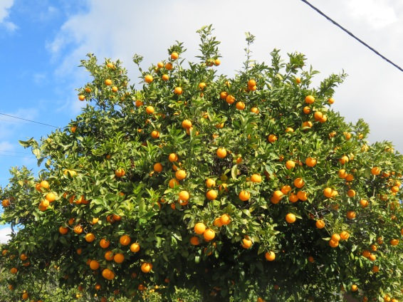 A magnificent orange tree hanging over the fence. We could have picked and picked.