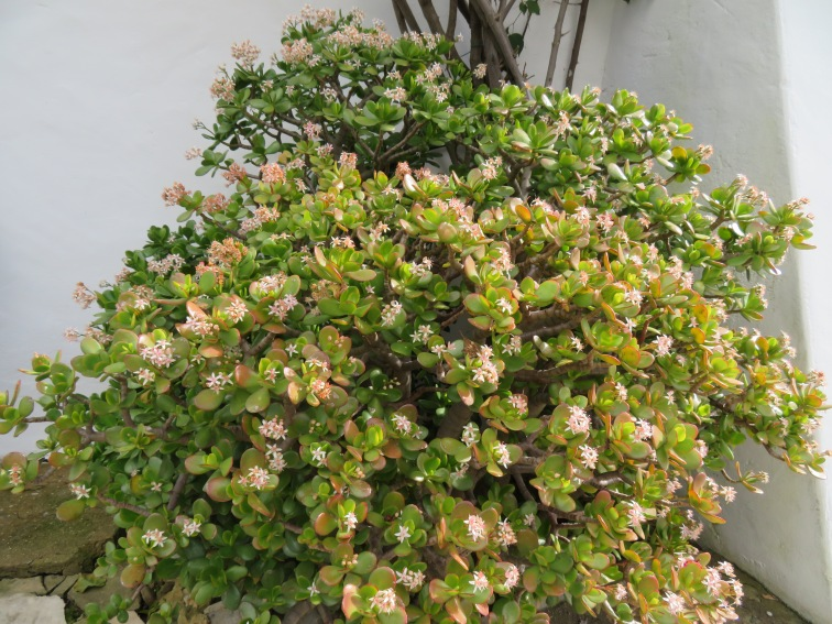 A jade plant in full bloom.......