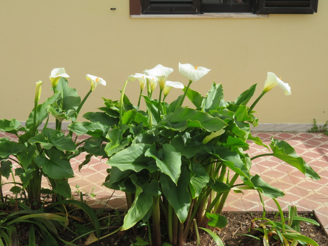 Calla Lilly is growing in abundance and is bursting into bloom in my gardens
