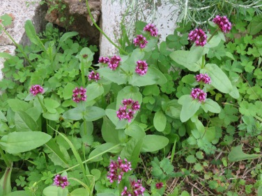 I love these tiny flowers, which I think is a type of valerian