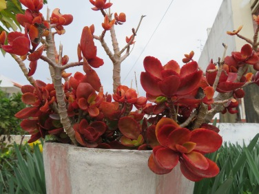 This gorgeous orangey red succulent caught my eye on top of a fence.