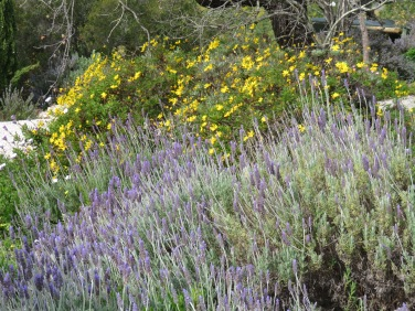 Wild lavender and those beautiful Bermuda Buttercups side by side.