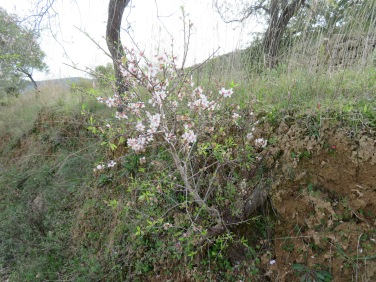 This tiny almond tree, about a foot tall, is growing from an old root hanging out through the embankment. The original tree long since cut down and gone!