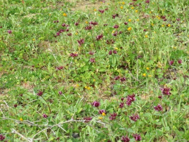 A few of the abandoned orchards were peppered with this tiny purple flower, taking over as the earth is no longer tilled