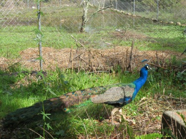 Konrad and Ewald have had this peacock show up and adopt them!