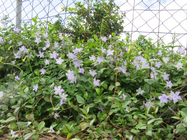 And finally these pale purple periwinkle......they are almost as plentiful as the bermuda buttercups