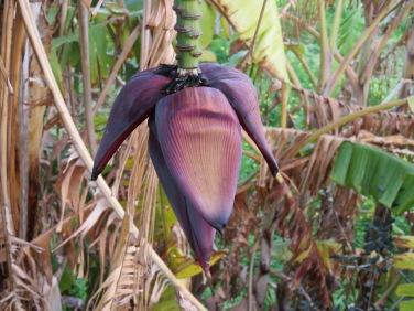 A banana tree flower