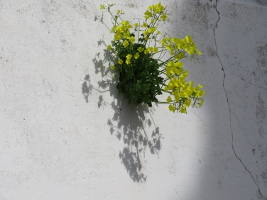 I love how these wild bermuda buttercups are growing out of a tiny hole in the wall.