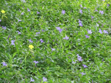 The ground in the fields, high in the mountain, are covered in periwinkle.