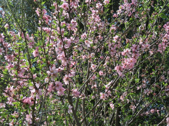 One of the almond trees holding on to it's flowers......a late bloomer!