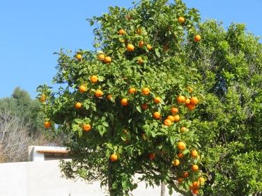 How does a tiny tree hold so many oranges!!!