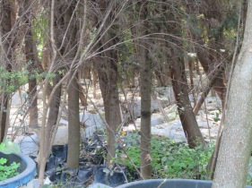 This seems to be an abandoned tree farm. So many thing in pots and for the most part, desperately in need of water.